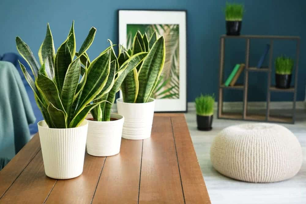 Snake Plant in a flat design
