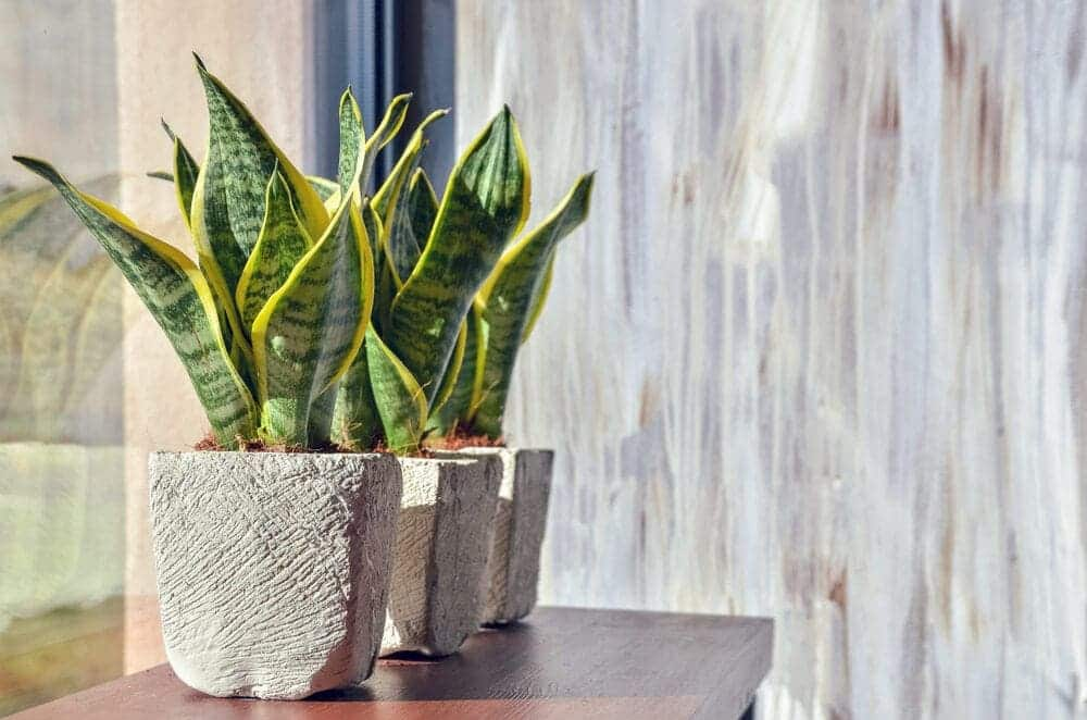 Snake Plant in a grey pot on a window
