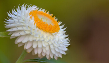Strawflower white