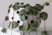 String of Hearts (Ceropegia) Care & Growing Guide