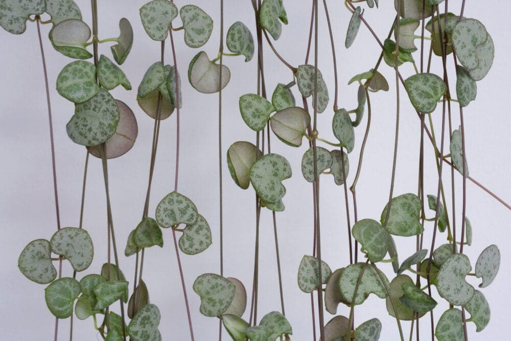 Ceropegia woodii in an interior