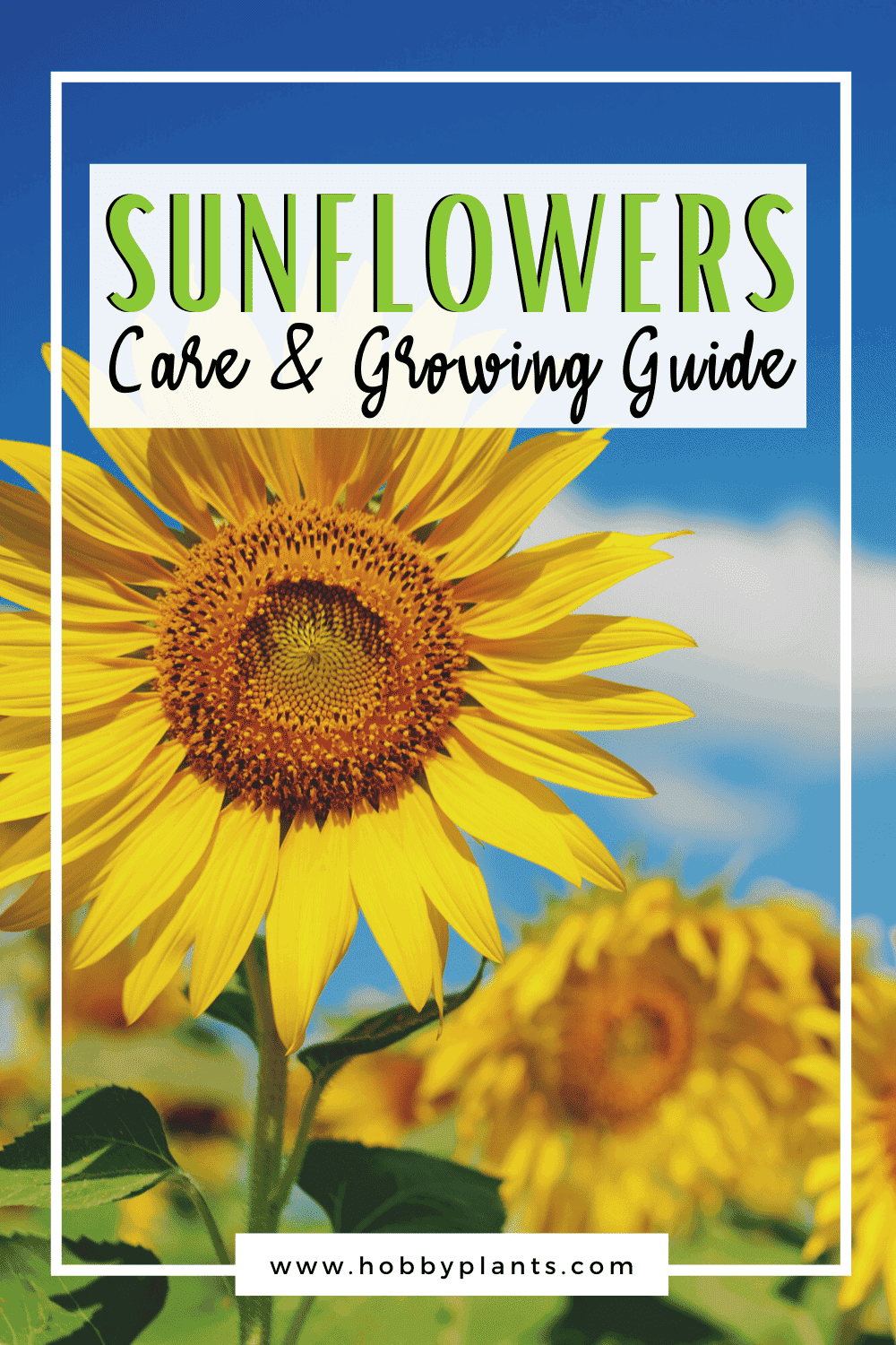 Sunflowers Care & Growing Guide