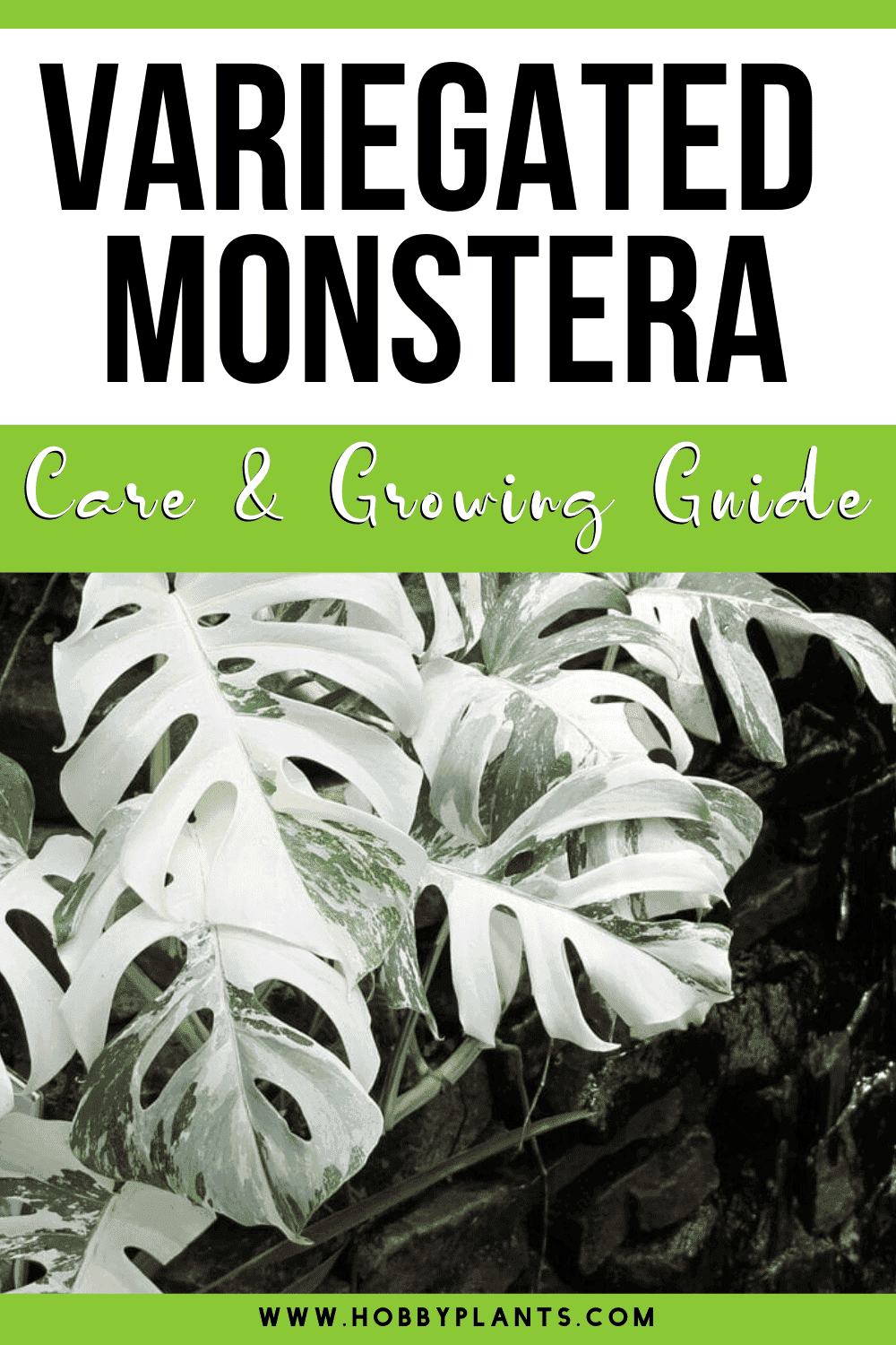 Variegated Monstera Care