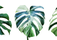 Variegated Monstera Care & Growing Guide