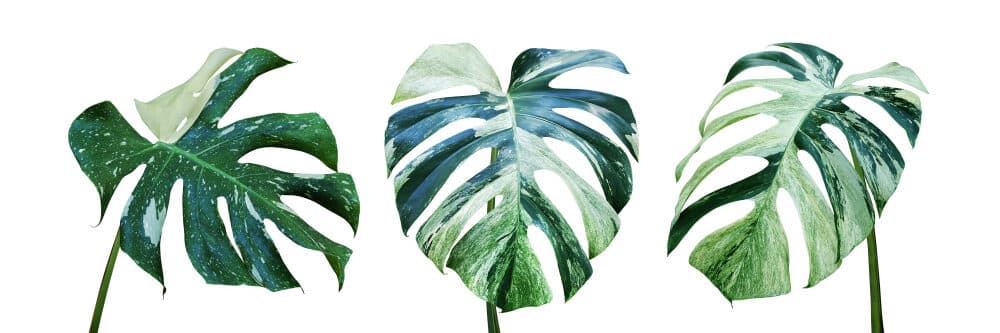 Variegated Monstera leafs