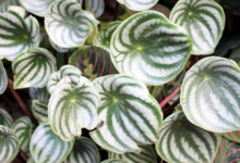 Peperomia Plant Care & Growing Guide