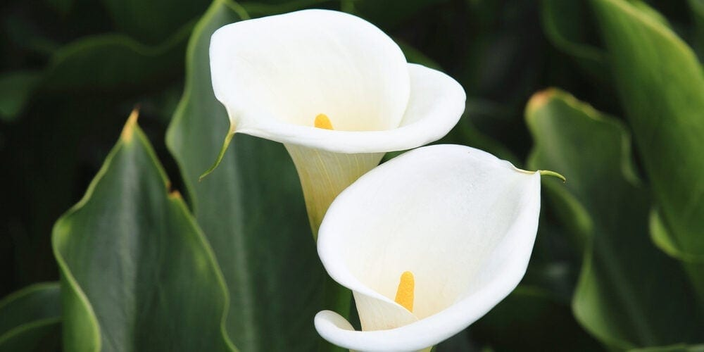 Calla Lily Flowers Care & Growing Guide