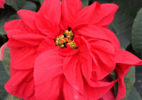 Winter Rose Poinsettia Care & Growing Guide