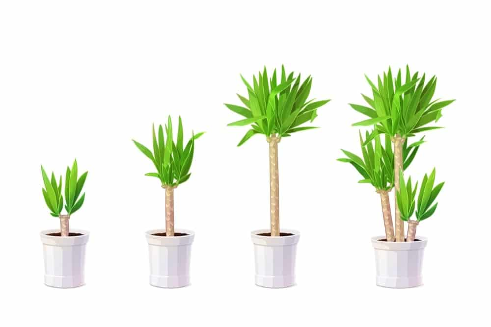 Yucca elephantipes growing stages