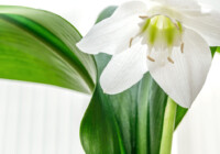 Amazon Lily Care & Growing guide