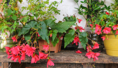 angel wing begonia red flowers