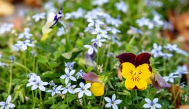 blue star creeper flowers