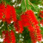 Bottlebrush Tree Care & Growing Guide