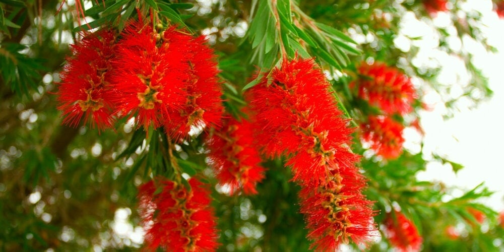 bottle brush tree flower e1587974335137