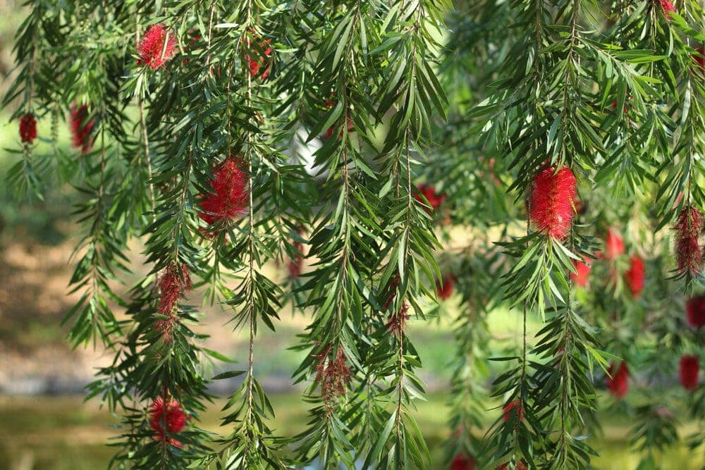 bottlebrush tree branches