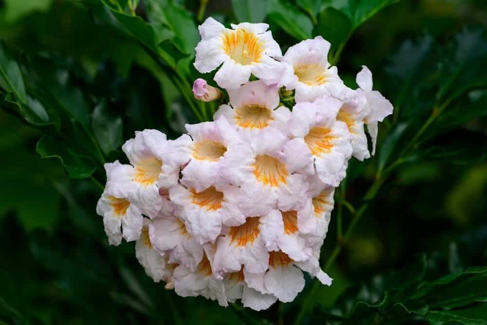 china doll plant white yellow flowers
