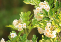 China Doll Plant Care & Growing Guide