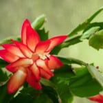 Christmas Cactus Care & Growing Guide