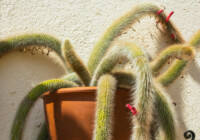 Monkey Tail Cactus Care & Growing Guide