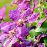 Clematis Care & Growing Guide
