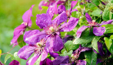 clematis care