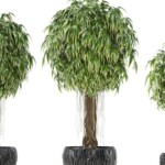 Ficus Alii Care & Growing Guide