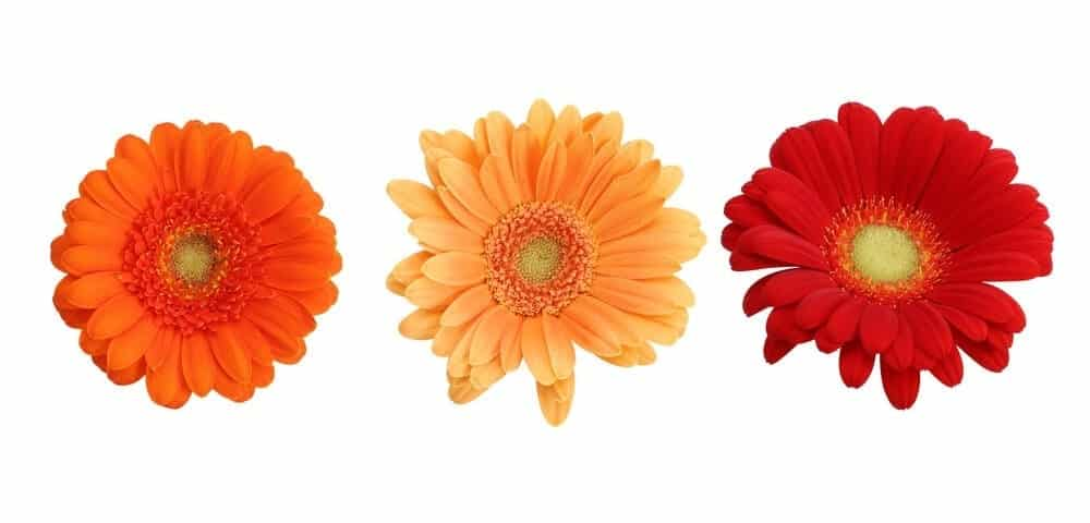 Gerbera Daisy Care & Growing Guide