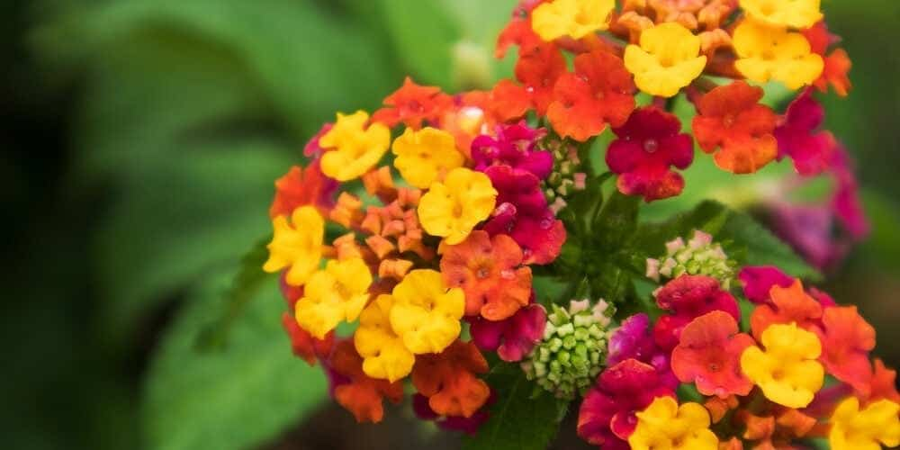 Lantana Plant Care & Growing Guide