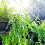Macho Fern Care & Growing Guide