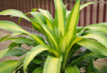 Corn Plant (Mass Cane) Care & Growing Guide