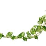 Pothos Plant - Care & Growing Guide