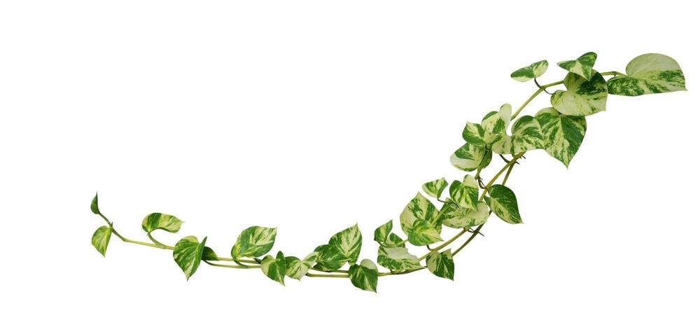 Pothos Plant Care & Growing Guide