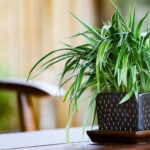 Spider Plant (Chlorophytum) Care & Growing Guide