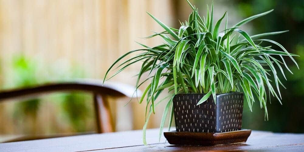 The spider plant is named this because of its long dangly leaves that look like spider legs.