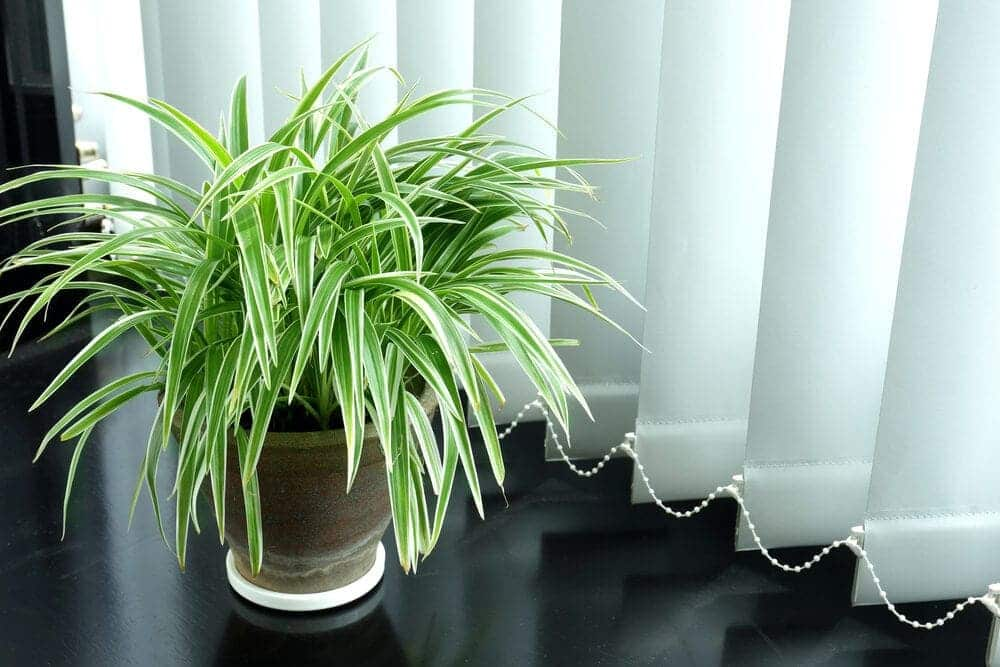 spider plant in a flat