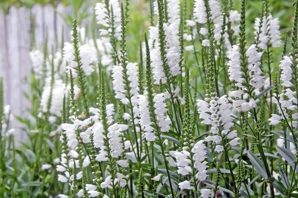 white obedient plant