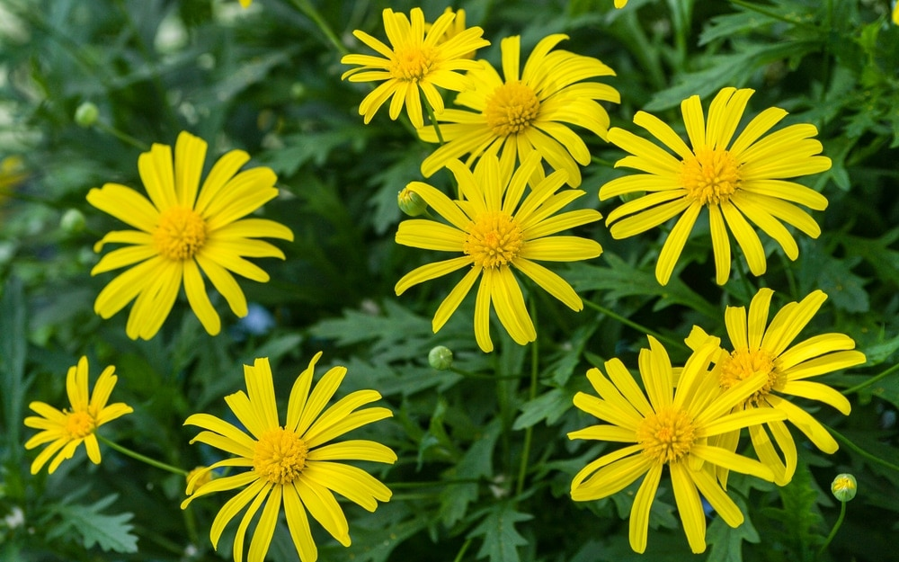 African Bush Daisy Euryops chrysanthemoides Care Growing Guide