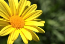 African Bush Daisy (Euryops Chrysanthemoides) Care & Growing Guide
