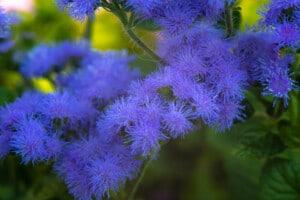 Ageratum Plant