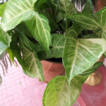 Yellow Arrowhead Plant Leaves -Reasons & Treatment