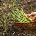 Asparagus - Planting, Growing & Harvesting Guide