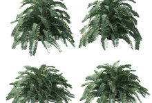 Cardboard Palm Growth and Care Guide