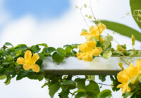 Cat's Claw Plant Care and Growing Guide