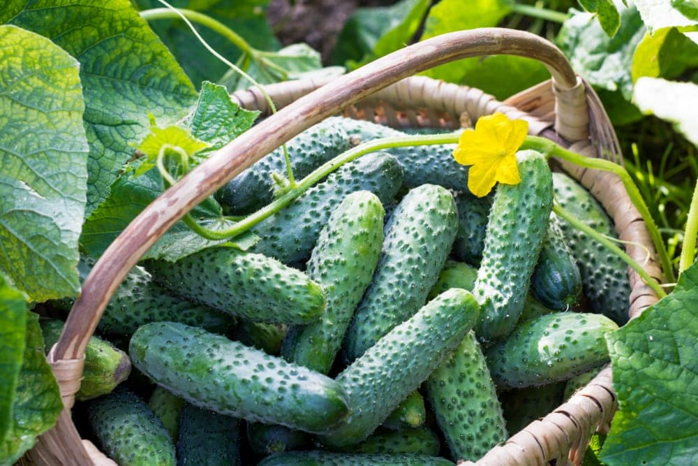 Cucumbers Planting Growing Harvesting Guide