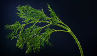Dill—Planting Growing and Harvesting