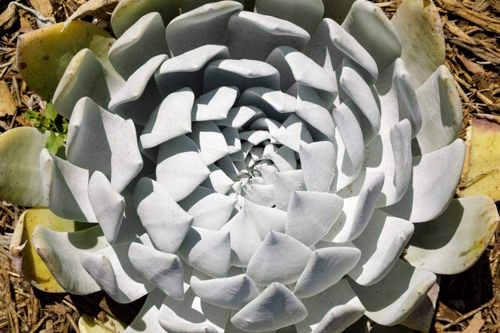 Dudleya Plant Care Growing Guide