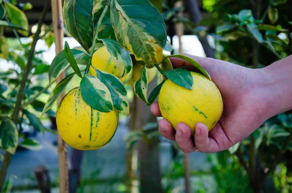 Eureka Pink Lemon Tree hand