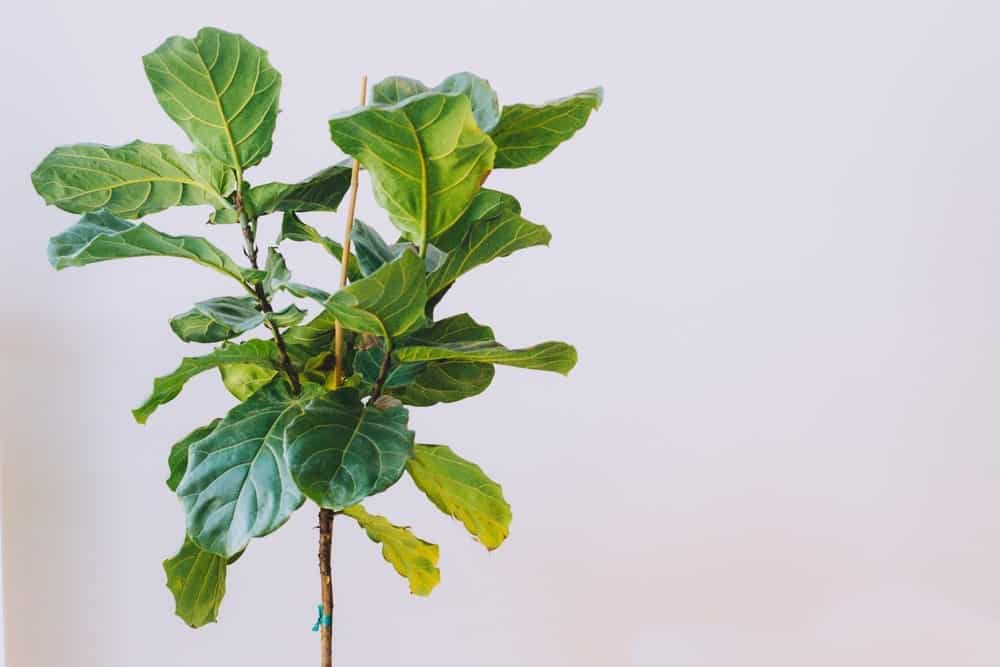 Fiddle Leaf Fig 1