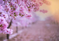 Flowering Almond Trees Care & Growing Guide