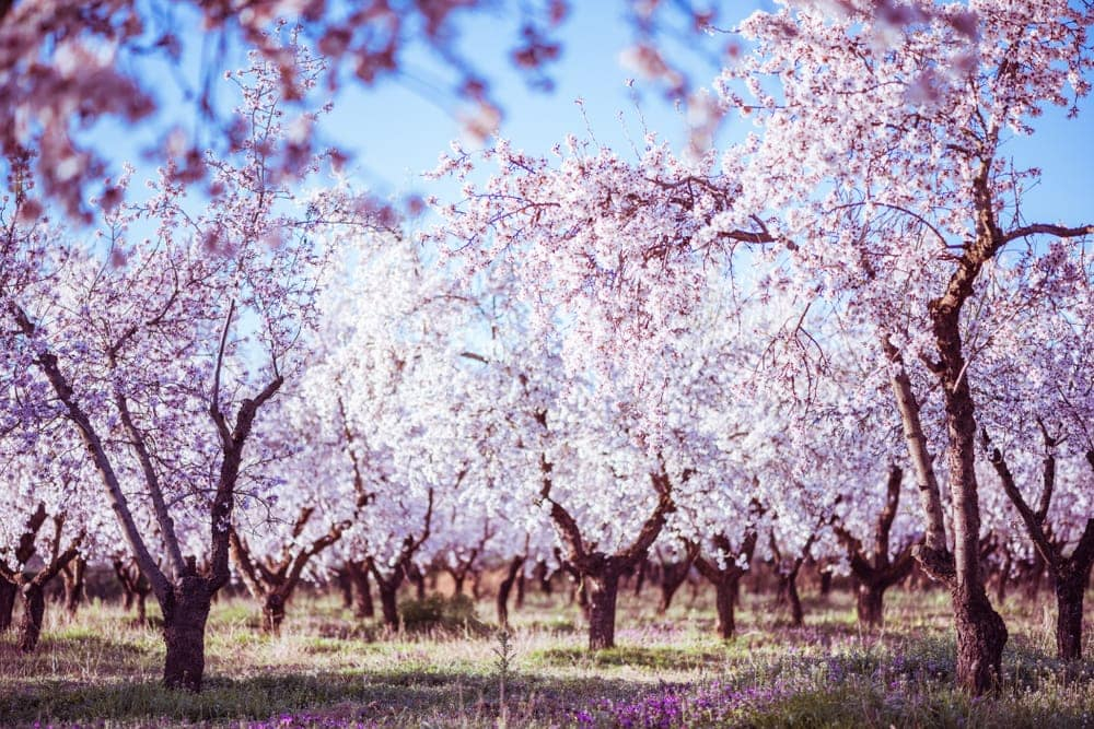 Flowering almond trees care Growing guide